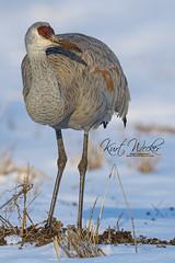 On the Lookout (ThruKurtsLens.com) Tags: 2019 buckscountypa flying kurtwecker nature naturephotographer sandhillcrane thrukurtslenscom wildlifephotographer wildlifephotography winter