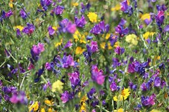 Beautiful Canvas of wild roadside flowers (Buster&Bubby) Tags: riffmountains chefchaouen maroc morocco canvas wildflowers