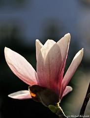 Magnolie (Mike Reichardt) Tags: flower flowerpower blume blüte blossom magnolie magnolia garten garden nahaufnahme natur nature macro makro closeup close unfolding entfalted aufblühend