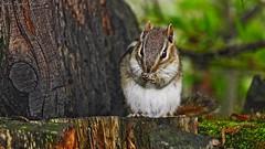 Meet 'Chippy' (Bob's Digital Eye 2) Tags: animal bobsdigitaleye bobsdigitaleye2 canon canonefs55250mmf456isstm chipmunk fauna nature outdoor rodent wildlife flicker flickr