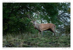 Le brame (BerColly) Tags: france auvergne cantal cerf stag nature automne autumn brame slab bercolly google flickr