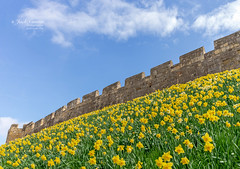 City walls with daffodils. (jack cousin) Tags: england northernengland spring uk york yorkshire ancientwalls architecture bank battlements bloom bluesky bulb city clearsky cloud daffodil daffodils defence embankment flower grass heritage historic history hostofdaffodils incline landmark landscape leaf medieval narcissus nature outdoor parapet petal ramparts season seasonal sky slope springtime stone stonework wall walls yellow nikond610