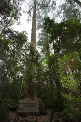 Worlds Tallest planted tree, Magoebaskloof, Limpopo, Dec 2018 (roelofvdb) Tags: 2019 date december limpopo magoebaskloof place plants salignaeucalyptus year scenery