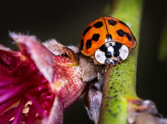 Asian Lady Beetle (sethjschubert) Tags: bug harmoniaaxyridis insect asianladybeetle beetle