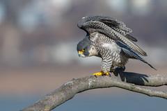 Queen of the Cliffs (rob.wallace) Tags: statelinelookoutalpinenewjerseyperegrinefalconraptor raptor peregrine falcon mating season
