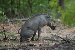 When nature calls (leendert3) Tags: leonmolenaar southafrica krugernationalpark wildlife nature mammals warthog ngc npc coth coth5