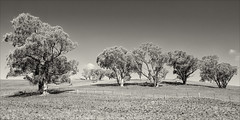 ensay-3375-ns-ps-w (pw-pix) Tags: hill hills paddock paddocks dry drought dirt grass grassjuststartingtoshowagain recentrain autumn trees eucalypts gumtrees sheep stock livestock fence track driveway shadows bw blackandwhite monochrome toned buchanensayroad justoutofensay ensay eastgippsland gippsland victoria australia peterwilliams pwpix wwwpwpixstudio pwpixstudio