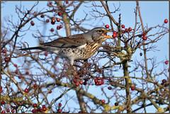Fieldfare (image 2 of 3) (Full Moon Images) Tags: rspb fen drayton lakes wildlife nature reserve cambridgeshire bird eating berry fieldfare