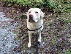 Gracie looking my way (walneylad) Tags: gracie dog canine pet puppy cute lab labrador labradorretriever january winter newyearsday princesspark