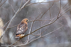 hybrid hawk (Hal) in a flurry (Brian M Hale) Tags: hal hybrid hawk bird birding birdwatch watch watching outside outdoors nature wild life wildlife winter snow snowing snowy flurry flurries w west boylston westboylston ma mass massachusetts newengland new england usa brian hale halebrianhalephoto redtail red tail shoulder shouldered redshoulder redshouldered x