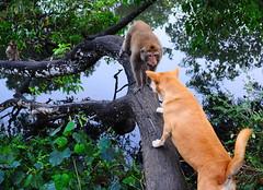 ,, Honey I'm Home ,, (Jon in Thailand) Tags: monkey primate ape alphamonkey mama dog k9 dogexpression guarddog dogtail dogears angryape angrymama jungle themonkeytemple nikon nikkor d300 175528 swamp green yellow aggressiveprimate wildlife littledoglaughedstories