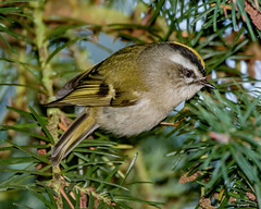 Golden-crowned Kinglet (John W. Hamil) Tags: birds kinglet goldencrownedkinglet nature