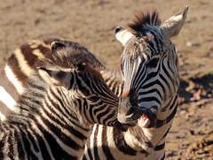 zebra Burgerszoo 094A1588 (j.a.kok) Tags: zoogdier zebra burgerszoo burgerzoo grantzebra mammal dier animal africa afrika