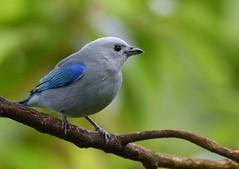 Blue-gray Tanager (anacm.silva) Tags: bluegraytanager tanager ave bird wild wildlife nature natureza naturaleza birds aves cinchona costarica thraupisepiscopus ngc