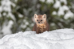 Pine Marten (Joe Branco) Tags: nature wildlife wildlifephotographer grass forest lightroom photoshop ontario canada birds bird tree branco joe nikond850 nikon joebrancophotographer pinemarten green