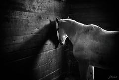 roze and her shadow (Jen MacNeill) Tags: horse horses equine mood lowlight shadow equestrian arab arabian roze blackandwhite bnw bw egyptian straight