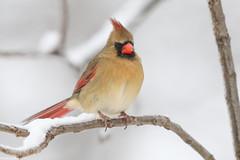 Northern Cardinal - Feb-01-2019 (1-1) (JPatR) Tags: 2018 february illinois northerncardinal backyard bird nature wildlife winter