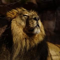 Tg Nbg               Sun enjoy / 2           190216 (Eddy L.) Tags: tiergartennürnberg tiergartenfreundenürnbergev nuremberg löwe subali ☆1752006 indischerlöwe pantheraleopersica asiaticlion predator portrait beautifullight bigcat zoo minoltaafhs28300mmg sonyalpha eddyl2019