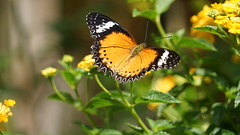 2019-02-11_12-38-34_ILCE-7M2_DSC063411_Kiri (Miguel Discart (Photos Vrac)) Tags: 2019 240mm animal animalphotography animals animalsupclose animaux butterfly chiangmai fe24240mmf3563oss fleurs flowers focallength240mm focallengthin35mmformat240mm holiday ilce7m2 iso160 nature naturephotography papillon pet sony sonyilce7m2 sonyilce7m2fe24240mmf3563oss thailand thailande travel vacances voyage