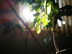 The sun inside (Baubec Izzet) Tags: baubecizzet light sun green huaweip9