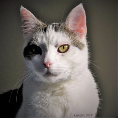 Jasmijn (Cajaflez) Tags: pet cat kat katze chat gatto huisdier portret portrait jasmijn coth5