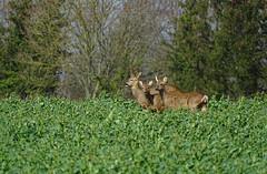 Capreolus capreolus (Vulpe Photographie) Tags: animal wild wildlife wildlifephoto wildlifephotography nature capreolus roedeer deer chevreuil sony dschx400v france normandie eure