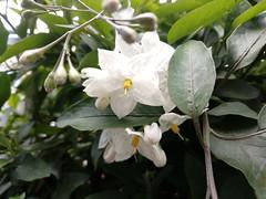 Flowers of Paradise (Serene Mountain) Tags: bush white yellow flowers green darkgreen closeup macro