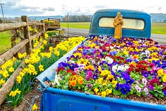 in bed together. (wasim of nazareth) Tags: adventure beautiful colors cars vintage history classic nature flowers travel portland pdx pdxlife spring bloom petals flowerslovers botanical blooms floweroftheday flowermagic floral