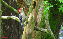 Red-bellied Woodpecker (Suzanham) Tags: woodpecker redbellied bird nature mississippi wildlife forest moss trees picidae passerine noxubeewildliferefuge