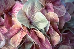Pastel (Peter Branger) Tags: pastel macro macromondays artificial flower artificialflower canoneosr canonrf35mmf18macroisstm
