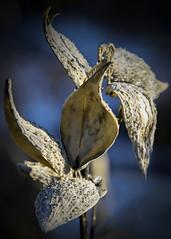 Winter Milkweed (Faron Dillon) Tags: winter milkweed sony a7rii ef 70200 is ii canon blue pod cold ontario canada richmondhill nature