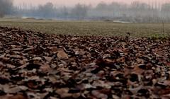 tappeto (g.zoe) Tags: focus foglie autunno inverno fiume oglio prospettiva atmosfera