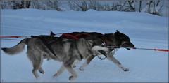 vite-vite, je trie mes photos et reviens vers vous... (Save planet Earth !) Tags: laponie amcc nikon chiens dogs finland winter hiver
