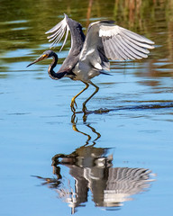 Tricolor Heron Landing (dbadair) Tags: outdoor nature wildlife 7dm2 canon florida bird