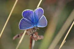 Hauhechel-Bläuling (Aah-Yeah) Tags: hauhechel bläuling gemeiner common blue polyommatus icarus achental grassau chiemgau bayern