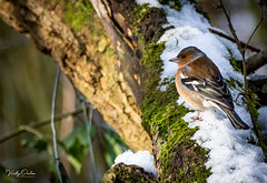 Chaffinch Male in the snow (vickyouten) Tags: chaffinch finch nature naturephotography wildlife britishwildlife wildlifephotography nikon nikond7200 nikonphotography sigma sigma150600mmc penningtonflash leigh uk vickyouten