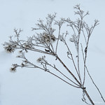 Winter Floral - Flore d'hiver thumbnail