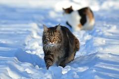 vi kommer......... (KvikneFoto) Tags: katt cat elvis åsta bokeh tamron nikon vinter winter snø snow 2019