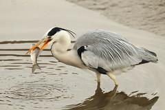 Catch (Teruhide Tomori) Tags: nature bird wild kyoto japan japon hirosawanoike pond winter animal greyheron アオサギ 野鳥 広沢池 京都 冬 鳥 動物 野生 日本