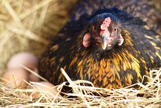 Ameraucana Chicken Laying an Egg