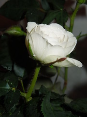 white rosa (cloversun19) Tags: dogrose queenrose rose pinkrose flowers flower macro aroma love romantic home green curtain petals pink gift dreams dream room table date dating girlfriend beauty glory charm fairytale happy blooming blossoming blossom bloom flowering flowerpicture flowerimage picture image onerose spring june colour color roseship wildrose briar pollen plant tenderness symmetry cactus flowe water bright dahlia butterfly garden