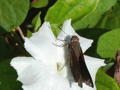 P1210832  Monk Skipper at Cuban Campanilla (Morning Glory)--Ipomoeae batata (birder2015 Toronto, Canada) Tags: monkskipper asboliscapucinus hesperiidae butterfly mariposa lepidoptera insect wildflower holguincuba cubancampanillaflower ipomoeaebatata