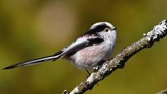 DSC_8818 Mésange à longue queue (sylvette.T) Tags: oiseau bird 2019 nature branche longtailedtit aegithaloscaudatus mésangeàlonguequeue