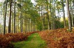 New Forest NP, Hampshire, UK (east med wanderer) Tags: england hampshire newforestnationalpark uk woodland larches bracken track lyndhurst