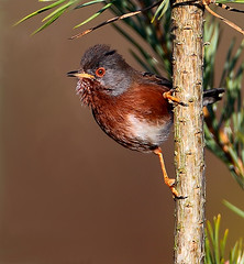 Dartford Warbler   ( Sylvia undata) (minvallaa) Tags: warbler dartford heathland moors new forest
