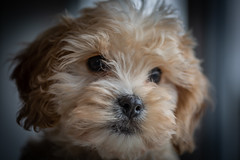 Murphy (paullangton) Tags: puppy dog cute canon sigma fun little nose cavapoochon