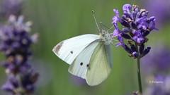 Der Duft von Lavendel..... (petra.foto busy busy busy) Tags: schmetterling kohlweisling lavendel garten natur naturfotografie macro fotopetra canon