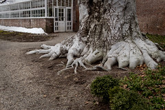 Big Foot (lclower19) Tags: tree root 119in2019 87 lymanestate waltham massachusetts beech greenhouse