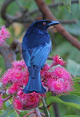 Spangled Drongo 023 (DMT@YLOR) Tags: bird flower redfloweringgumtree gumnuts blossom blooming pollen eye gloss spangle spangleddrongo drongo leaf leaves black red green pink blue tree branch goodna ipswich queensland australia aussie wildlife nature outdoors outside