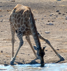 Doing The Splits (Alan1954) Tags: giraffe animal etosha namibia africa holiday 2018 drinking waterhole